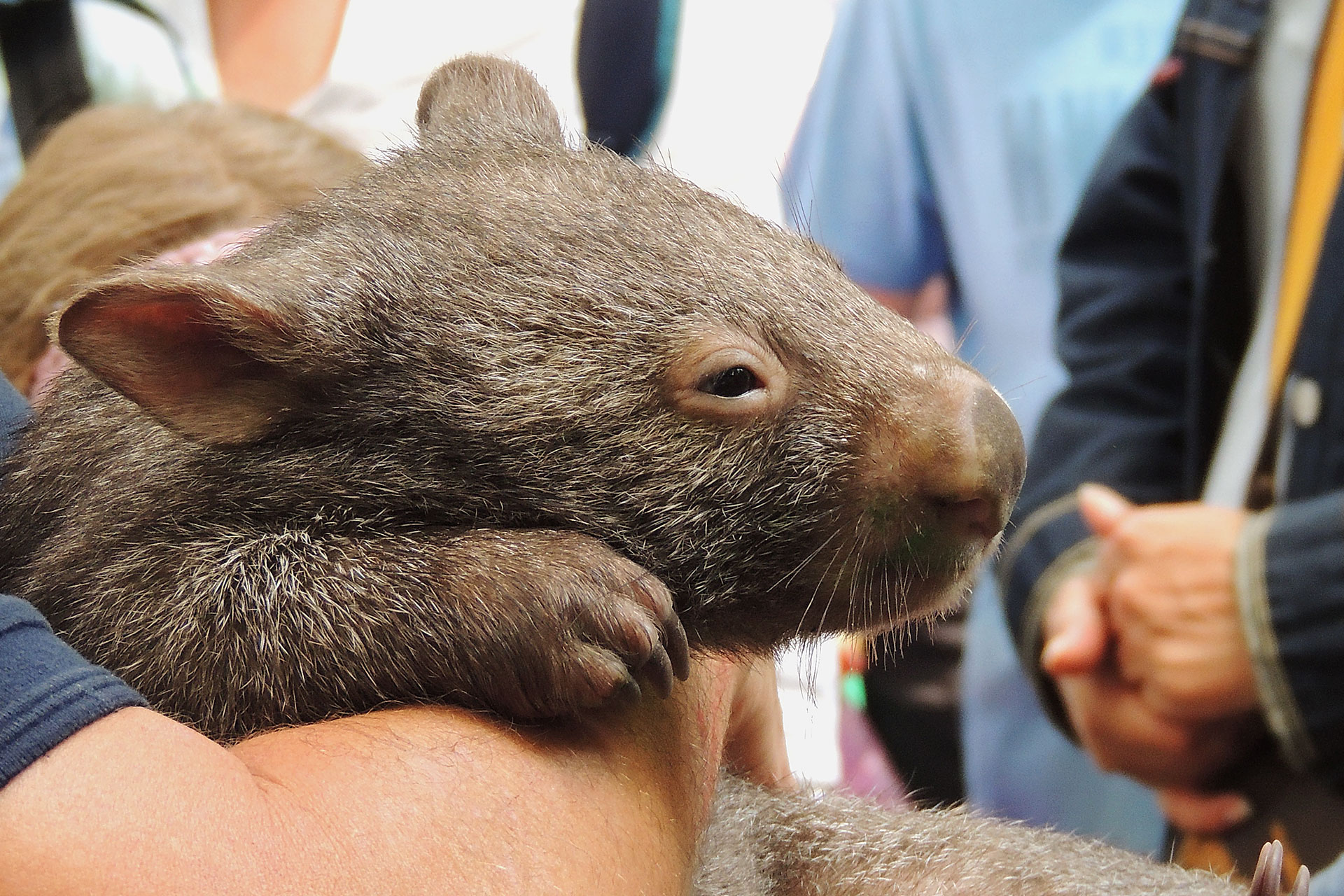 Wombatbaby
